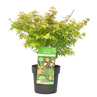 Tree from Botanicly – Emperor maple – Height: 45 cm – Acer palmatum Little Princess