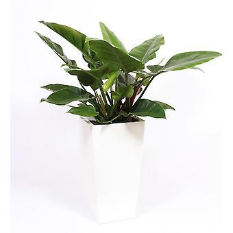 Zimmerpflanze – Baumfreund in weißem Übertopf als Set – Höhe: 120 cm