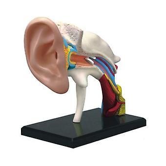 4D Vision Ludzki Ucha Anatomia Model Anatomiczne Learn Study Equipment