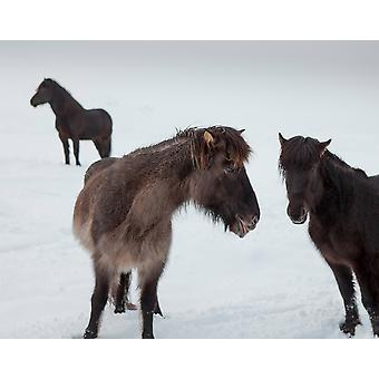 Icelandic horses with winter coats Iceland Poster Print