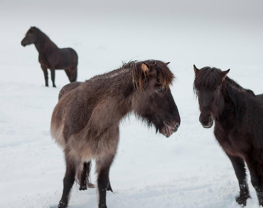 Posterazzi Icelandic horses with winter coats Iceland Poster Print ...