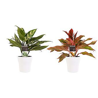 Kamerplanten – 2 × Aglaonema Maria, Aglaonema Crete incl. sierpot wit als set – Hoogte: 25 cm