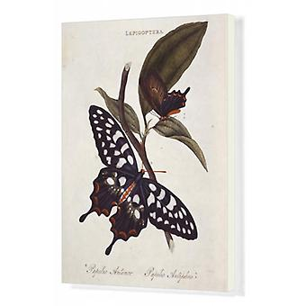 Pharmacophagus antenor, giant swallowtail. Box Canvas Print. Giant swallowtail butterfly and the.