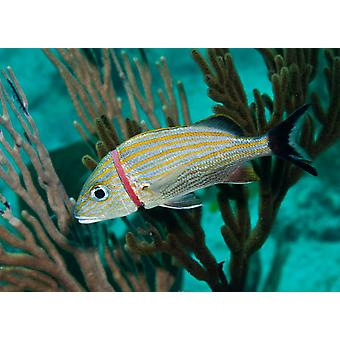A red plastic band threatens the life of a blue striped grunt fish Poster Print by Karen DoodyStocktrek Images