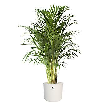 Keuze uit groen-Areca dypsis Palm-Golden Cane Palm in pot wit