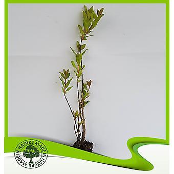 Punica granatum (granaatappel)-plant