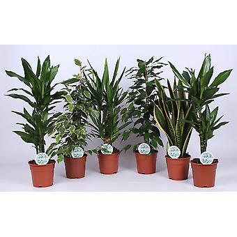Plantes d'intérieur – 6 × Langue de belle-mère – Hauteur: 60 cm