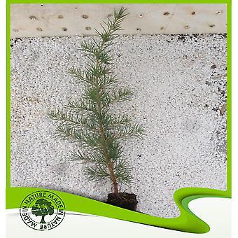 Cedrus deodara (Deodar ceder)-plant