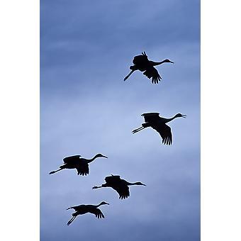 Flock flygande Sandhill tranor mot den himlen förbereder mark Bosque Del Apache Wildlife Refuge New Mexico vintern PosterPrint