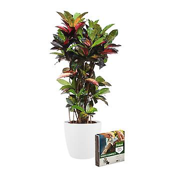 Inomhus Plant – Croton i vit växtkruka + 10 L jord som ett set – Höjd: 100 cm