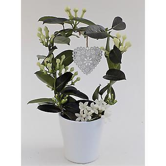 BOTANICLY Stephanotis floribunda Fleur Parfum