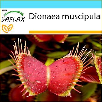 Saflax - regalo Set-10 semi - Venus Fly Trap - Dionée attrape mouche - Venere acchiappamosche - Venus atrapamoscas - Venus - Fliegenfalle