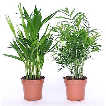 Plantas de interior de Botanicly – 2 × Palma Areca – Altura: 45 cm – Areca dypsis lutescens
