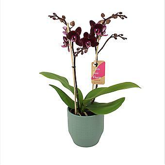 BOTANICLY Phalaenopsis Multiflora Harlekijn - Orchidea farfalla