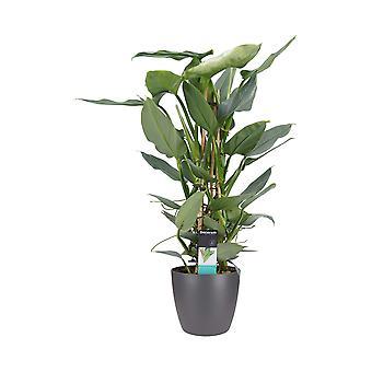 Fiore da Botanicly – Philodendron Silver Sword in vaso antracite come set – Altezza: 60 cm