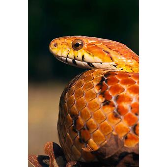 Cornsnake native to southeastern and central United States Poster Print by Pete Oxford