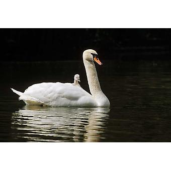 Mute Swan with chicks Germany Poster Print by Konrad Wothe