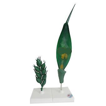 Suurennus vehnä kukka malli