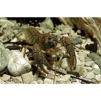 Stone crayfish Kalkapen National Park Austria Poster Print by VWPicsStocktrek Images