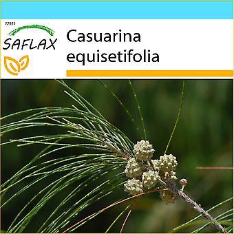 Saflax - Geschenk-Set - 200 Samen - Schachtelhalm-Baum - Filao - Casuarina Comune - Pino Australiano - Känguruhbaum