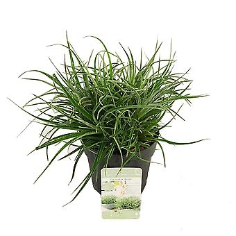 Hedges & Shrubs from Botanicly – Bromelia – Height: 15 cm – Fascicularia Bicolor