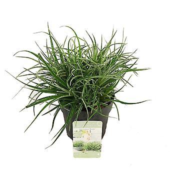 Hedges & Shrubs de Botanicly – Bromélia – Altura: 15 cm – Fascicularia Bicolor
