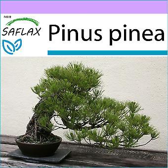 Saflax - 6 frø - Bonsai - Stone Pine - Pin parasoll - Pino marittimo - Pinos piñoneros - B - Mittelmeer-Pinie