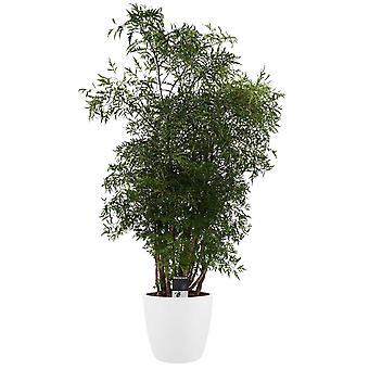 L'Aralie ↕ 50 à 100 cm disponible avec jardinière | Polyscias Ming