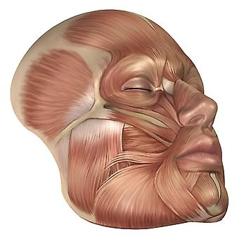 Anatomy of human face muscles Poster Print