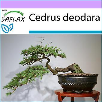 Saflax - 35 Semi - Bonsai - Cedro indiano - Cèdre de l'Himalaya - Cedro dell'Himalaya - Cedro del Himalaya - B - Himalaya Zeder