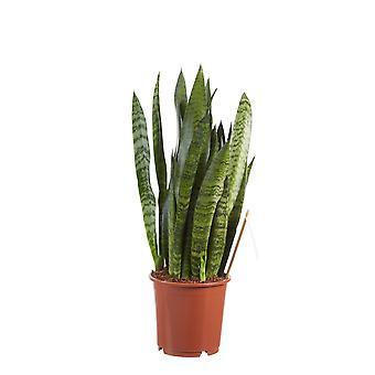 Kamerplant van Botanicly – Vrouwentongen – Hoogte: 50 cm – Sansevieria Zeylanica