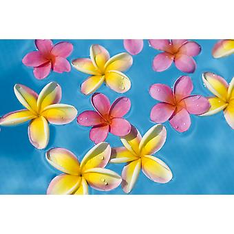 Bright Yellow And Pink Plumerias Floating In Turquoise Water PosterPrint