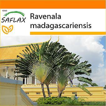Saflax - en la bolsa de jardín - 8 semillas - viaggiatore de árbol - Arbre du voyageur - Albero del viajero - Árbol del viajero - Baum des Reisenden