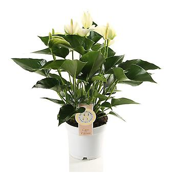 Inomhus Plant från Botanicly – Flamingo Blomma – Höjd: 40 cm – Anthurium andr. Vit
