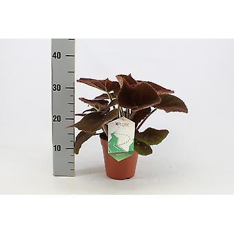 Usina Interior de Botanicamente – Rio Begônia Masoniana – Altura: 30 cm
