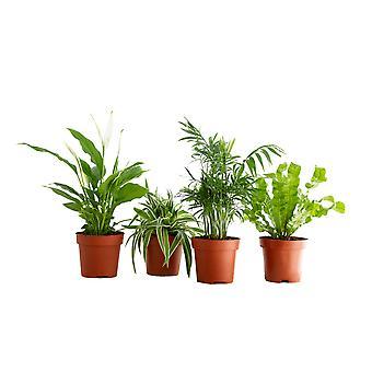 BOTANICLY Areca Dypsis, Chlorophytum Atlantic, Asplenium Crispy Wave, Spathiphyllum Yes