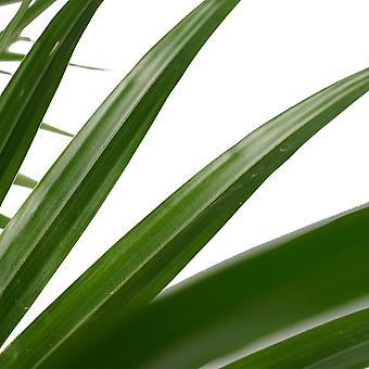 Ventilator palme ↕ 100 cm fås med plantageejer   Livistona Rotundifolia