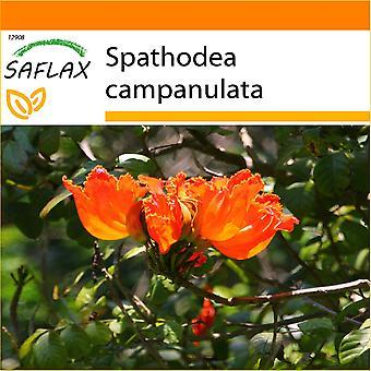 Saflax - giardino nel sacchetto - 30 semi - albero di tulipano africano - Tulipier du Gabon - Albero dei tulipani - Tulipán africano - Afrikanischer Tulpenbaum