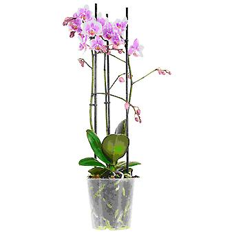 Choice of Green - 1 Phalaenopsis Multiflora Rosanna or Butterfly Orchid