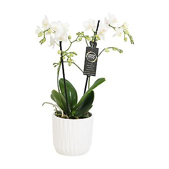 Choice of Green - Phalaenopsis Amore Mio Extension in white ceramic pot - Butterfly Orchid