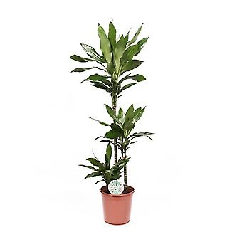 Indoor Plant from Botanicly – Dragon tree – Height: 125 cm – Dracaena fragr. Janet Lind