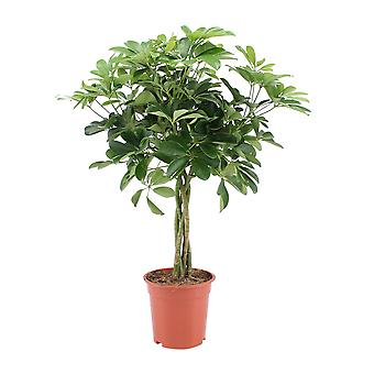 Indoor tree from Botanicly – dwarf umbrella tree – Height: 80 cm – Schefflera Arboricola Nora