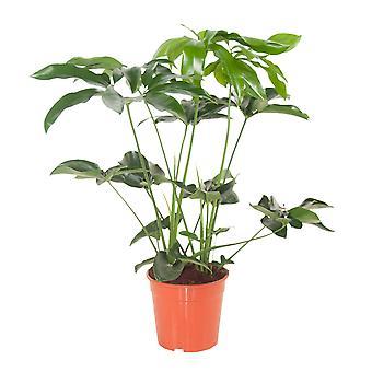 Philodendron Green Wonder 24 cm quince spot 80 cm de altura