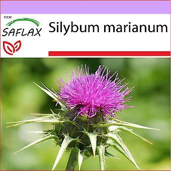 Saflax - 75 nasion - Ostropest plamisty - Chardon-Marie - Cardo mariano - Cardo mariano - Mariendistel