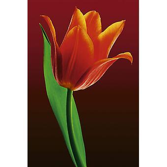 Poster - Studio B - 24x36 Tulip on Red Wall Art CJ1475B