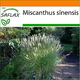 Saflax - Garten in der Tasche - 200 Samen - chinesische Silber Grass - Roseau de Chine - Erba Elefantina - Plateado Chino - Chinaschilf