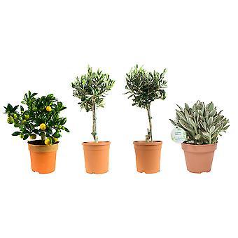 Citrus tree - Kalanchoe Tormentosa - Olive tree - 4 pieces - Height 23 cm - Diameter pot 12 cm