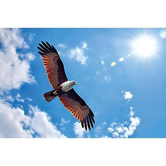 Photo wall mural Brahminy kite showing wing