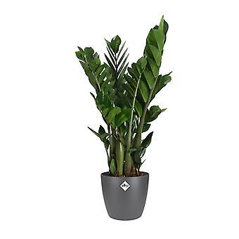 Choice of Green - Zamioculcas zamiifolia - in ELHO® Brussels antracite
