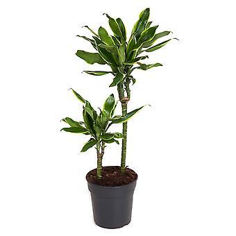 Plante d'intérieur de Botanicly – Dragonnier – Hauteur: 70 cm – Dracaena Golden Coast